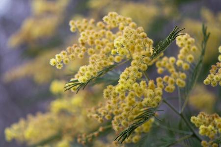 Silver wattle acacia dealbata yellow flowers and foliage silver wattle acacia dealbata yellow flowers and foliage australian evergreen tree aka blue mightylinksfo