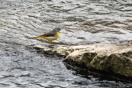 motacillidae: Grey wagtail (Motacilla cinerea) in profile. Colourful bird in the family Motacillidae, standing on rock in river