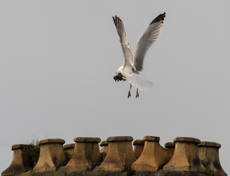 Herring gull (Larus argentatus) building nest on chimney stack. Bird in the family Laridae in flight, carrying nesting material in beak to chimney in Cardiff, Wales, UK Stock Photo