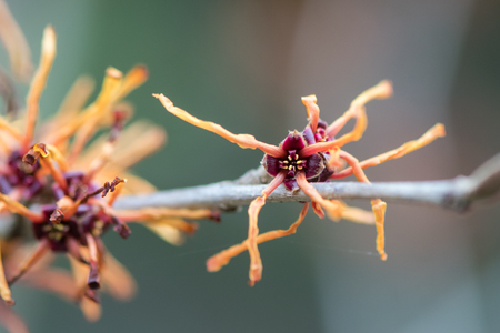 Witch hazel (Hamamelis x intermedia Jelena) flower. Detail of extraordinary red flower of shrub cultivar in the family Hamamelidaceae, with long petals