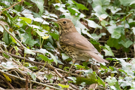 Mistle thrush (Turdus viscivorus) foraging amongst ivy. Large bird in the family Turdidae hunting for food on the ground in Cardiff, Wales, UK Stock Photo