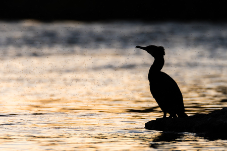 phalacrocoracidae: Cormorant (Phalacrocorax carbo) silhouetted with midges. Large fishing bird in the family Phalacrocoracidae surrounded by swarm of flies on the River Taff
