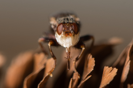 Myopa testacea conopid fly head with proboscis extended. Thick-headed fly with long genticulate proboscis and broad white frons, in the family Conopidae