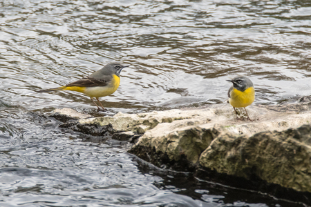 motacillidae: Grey wagtails (Motacilla cinerea) on rock in river. Composite of birds in the family Motacillidae, standing on rock in river