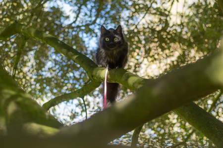 tether: Black long-haired cat on leash climbing tree. Pet cat being taken for exercise on pink lead, with bright yellow eyes Stock Photo