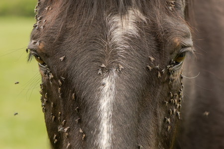 Horse with lots of flies on face and eyes. Brown horse suffering swarm of insects about face and drinking from tear ducts