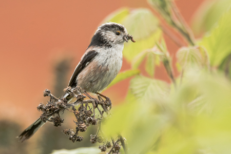 nesting: Long-tailed tit (Aegithalos caudatus) with insects in beak. Adult bird in the family Aegithalidae, collecting invertebrates to feed chicks in nest Stock Photo
