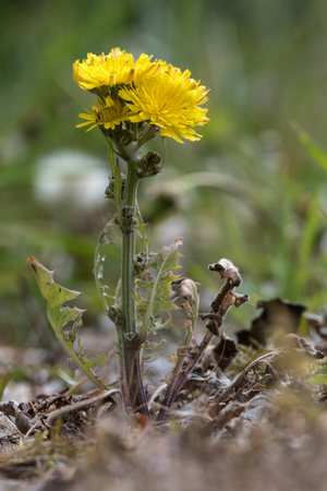 Beaked Hawks-beard (Crepis vesicaria) plant in flower. Hairy plant in the daisy family (Asteraceae) with hairy stems and yellow inflorescences