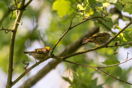Pair of goldcrests (Regulus regulus) on branch. Britains smallest bird, in the family Sylviidae, with male displaying impressive gold crest