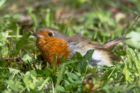 Robin (Erithacus rubecula) fledgling on ground. Juvenile bird in the family Turdidae, remaining motionless on ground in response to threat