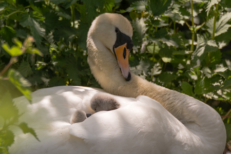 Mute swan (Cygnus olor) cygnets on pen. Young chicks nestled in feathers on back of mother on nest