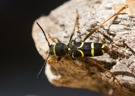 Wasp beetle (Clytus arietis) from above. A striking yellow and black wasp mimic in the family Cerambycidae, displaying Batesian mimicry