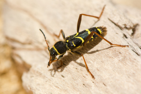 Wasp beetle (Clytus arietis) on dead wood. A striking yellow and black wasp mimic in the family Cerambycidae, displaying Batesian mimicry Stock Photo