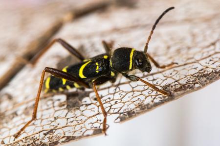 Wasp beetle (Clytus arietis) on leaf. A striking yellow and black wasp mimic in the family Cerambycidae, displaying Batesian mimicry