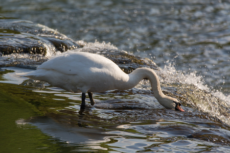 Mute swan (Cygnus olor) feeding on top of waterfall. Large male bird foraging for invertebrates in fast flowing water on weir of River Avon, near Bath, UK