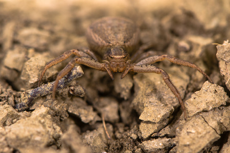 xysticus: Xysticus bifasciatus spider head on. Female crab spider in the family Thomisidae at ground level in limestone grassland