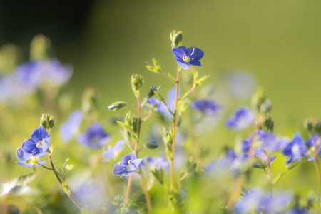 Germander speedwell (Veronica chamaedrys) flowers. Blue flowers of delicate herbaceous perennial plant in the plantain family (Plantaginaceae)