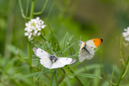 Orange-tip butterflies (Anthocharis cardamines) about to mate. Stock Photo