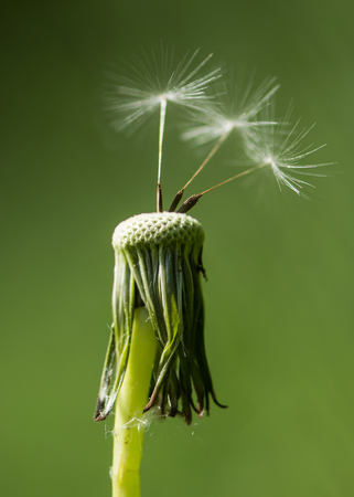Dandelion (Taraxacum officinale) seedhead with achenes. Last remaining wind blown seeds on flowerhead in the daisy family (Asteraceae)
