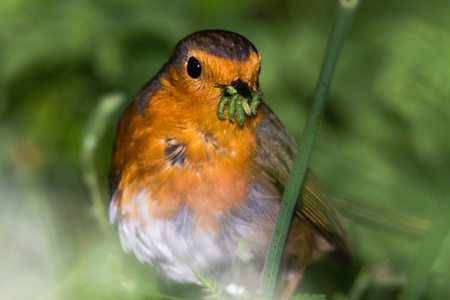 Robin (Erithacus rubecula) with beak full of caterpillars. Favourite garden bird in the family Turdidae, successfully collecting food for chicks in springtime