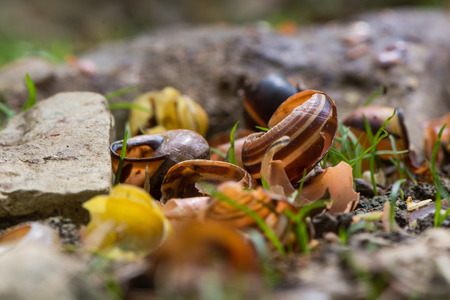 Snail shells broken by song thrush (Turdus philomelus). Pile of broken shells by stones used to smash prey of bird in the family Turdidae Stock Photo