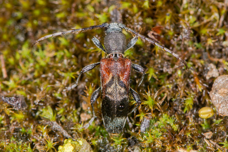 Longhorn beetle (Anaglyptus mysticus) from above. Distinctive British beetle in the family Cerambycidae, on moss