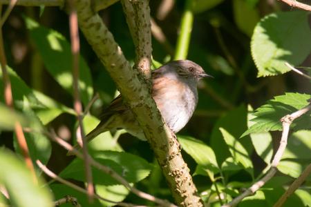 prunella: Dunnock (Prunella modularis) bird perched on branch. Bird in the family Prunellidae sitting amongst dense vegetation