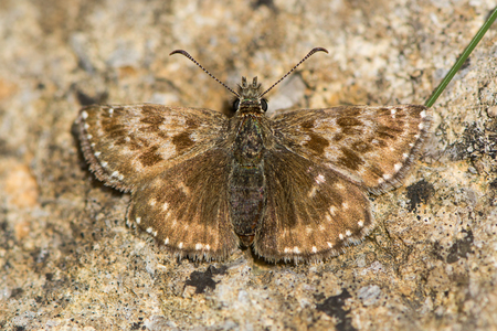 Dingy skipper butterfly (Erynnis tages) freshly emerged. A butterfly in the family Hesperiidae, at rest on stone