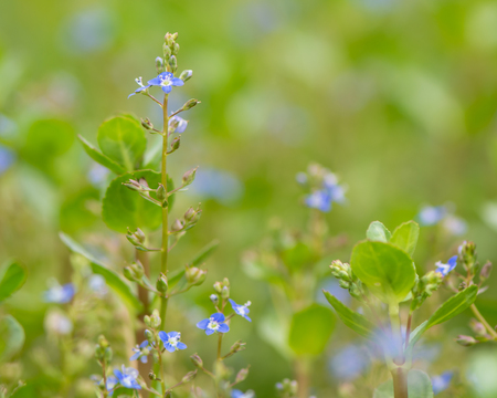 Brooklime (Veronica beccabunga) plant in flower. Raceme of blue flowers on fleshly plant in the family Plantaginaceae, growing in a stream