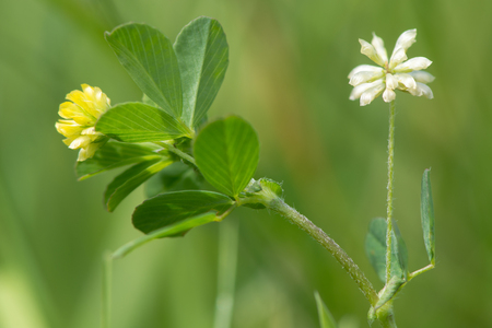 Lesser trefoil (Trifolium dubium) plant in flower. Fresh and mature flowers of a delicate legume (family Fabaceae) growing on calcareous grassland Stock Photo