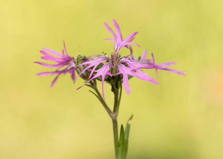 Ragged Robin (Lychnis flos-cuculi) plant in flower. Pink flowers on plant in the family Caryophyllaceae, with strange incomplete petals