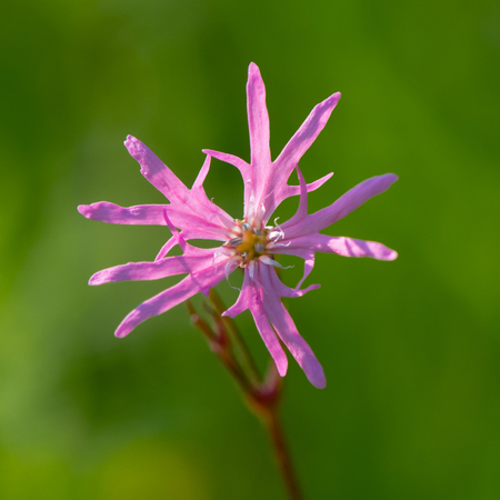 Ragged Robin (Lychnis flos-cuculi) single flower. Pink flower in the family Caryophyllaceae, with strange incomplete petals