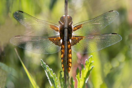 Broad-bodied chaser (Libellula depressa) underside. Dragonfly in the family Libellulidae, at rest from below, backlit by sunlight
