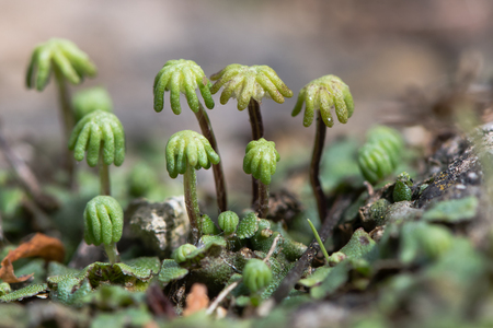 Marchantia polymorpha liverwort gametospores. Umbrella-like reproductive structures of female plant in the order Marchantiales