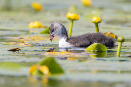 Coot (Fulica atra) chick swimming among water lilies. Young bird in the family Rallidae foraging among yellow flowers on surface of pond