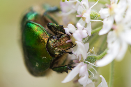 Rose chafer (Cetonia aurata) feeding on hogweed (Heracleum sphondylium). Large green beetle in the family Scarabaeidae showing detail of compound eyes, frons and antennae