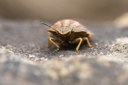 Tortoise shieldbug (Eurygaster testudinaria) head on. True bug in the family Pentatomidae, showing antennae and compound eyes at Wick Golden Valley nature reserve Stock Photo