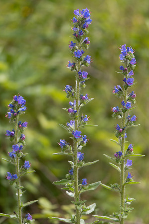 Vipers bugloss (Echium vulgare) plants in flower. Blue flowers on a coarsely hairy plants growing on British calcareous grassland, in the family Boraginaceae Stock Photo