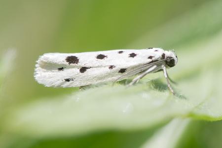 Ethmia dodecea micro ćma. Bardzo lokalny owad z rodziny Ethmiidae znaleziony w ciągu dnia w rezerwacie przyrody Wick Golden Valley