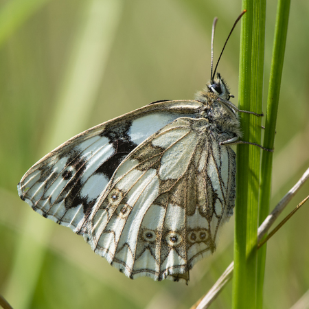 nymphalidae: Marbled white butterfly (Melanargia galathea) on grass. Underside of black and white chequered butterfly in the family Nymphalidae, at rest on grass Stock Photo
