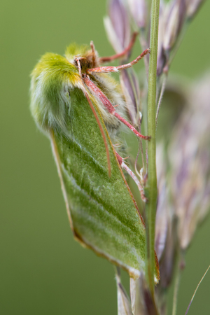Green silver-lines moth (Pseudoips fagana) on grass. One of relatively few British green moths, in the family Nolidae, with pink legs and antennae
