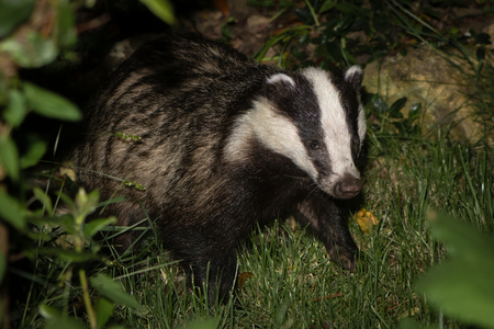 European badger (Meles meles) foraging. Carnivore in family Mustelidae hunting for invertebrates amongst vegetation in Somerset, UK Stock Photo