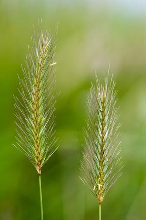 Meadow barley (Hordeum secalinum) flower spikes. Flowering grass in the family Poaceae, with long bristle-like glumes