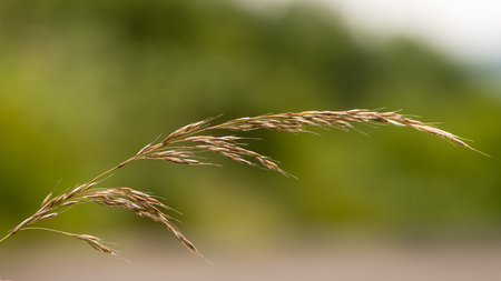 False oat-grass (Arrhenatherum elatius) in seed. Panicle of tufted perennial grass common in lowland British grassland including verges and meadows