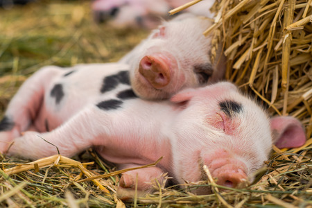 Oxford Sandy and Black piglets sleeping together. Four day old domestic pigs outdoors, with black spots on pink skin
