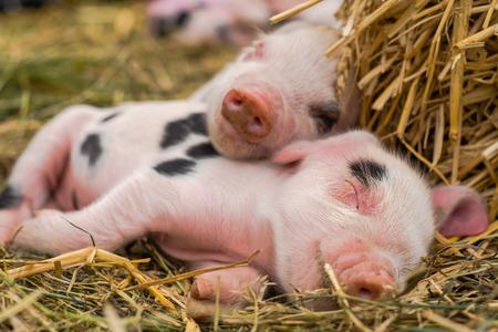 Oxford Sandy e Black maialini che dormono insieme. Quattro maiali domestici di quattro giorni all'aperto, con macchie nere sulla pelle rosa