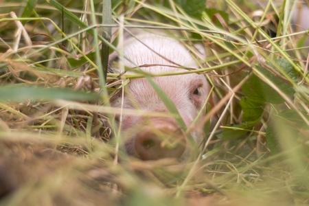 草に隠れている子豚。4 日間の古い国内豚屋外で、ピンクの肌に黒い斑点を持つ