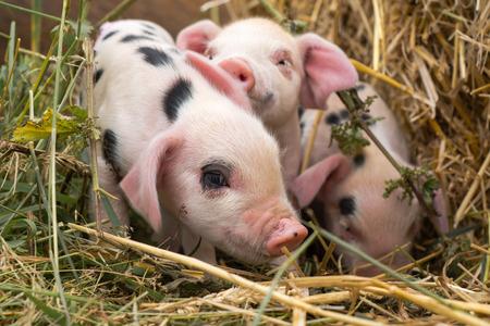 Oxford Sandy e nero suinetti in paglia. Quattro maiali domestici di quattro giorni all'aperto, con macchie nere sulla pelle rosa