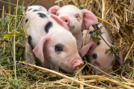 Oxford Sandy and Black piglets in straw. Four day old domestic pigs outdoors, with black spots on pink skin Stockfoto