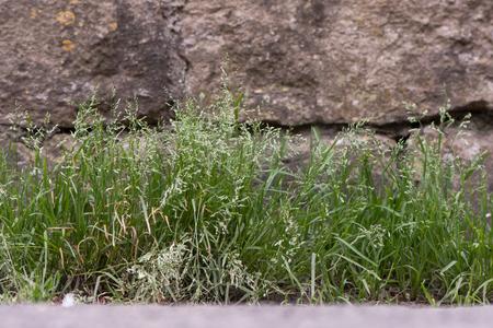 연간 초원 - 잔디 (Poa annua) 꽃에 식물. 풍성한 풀밭에 자라는 잔디 Poaceae는 영국의 시골 벽에 꽃이 피고